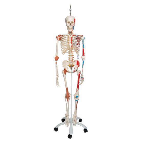 SAM, Deluxe Human Skeleton Sam, flexible with muscles origins and insertion and ligaments, A13/1