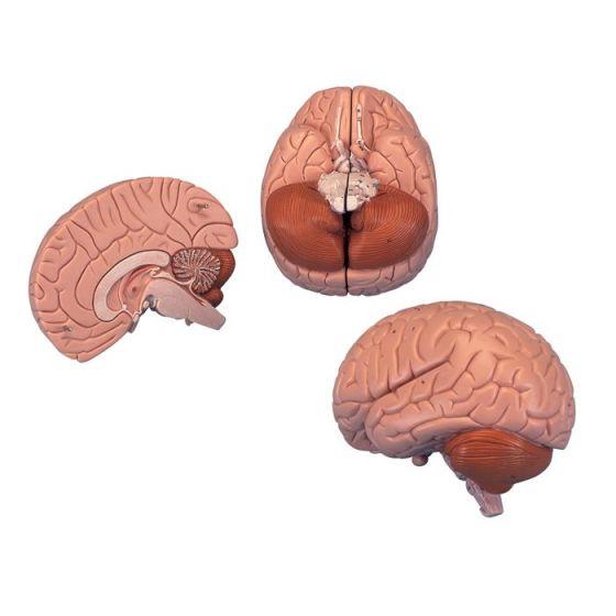 Classic brain C15