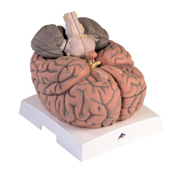 Giant Brain, 2,5 times enlarged, 14 parts VH409
