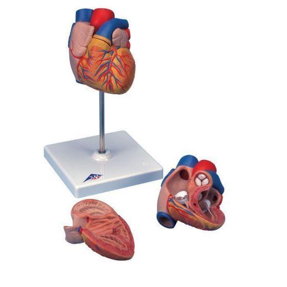 Heart Model G10