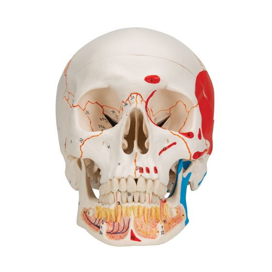 Classic Human Skull with Opened Lower Jaw, A22/1