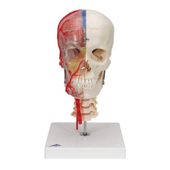 BONElike™ Transparent Human Skull, mounted on cervical spine A283