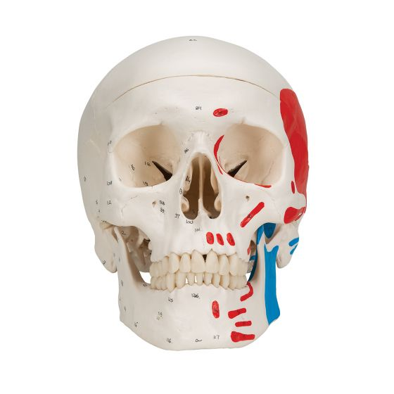 Classic Human Skull, A23