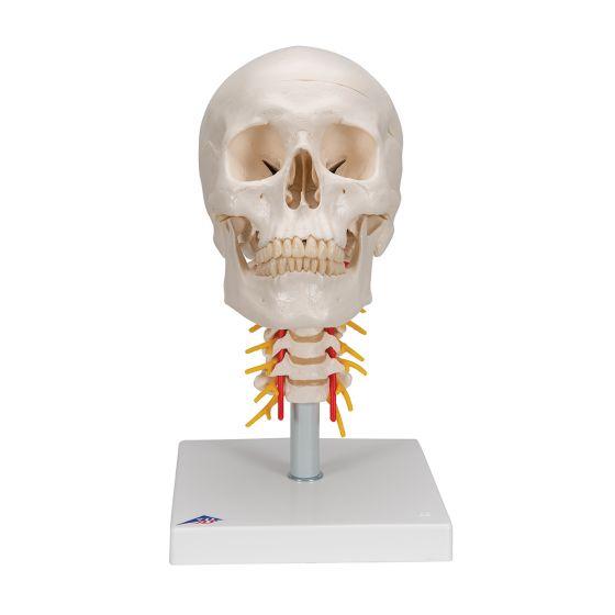 Human Skull on Cervical Spine, A20/1