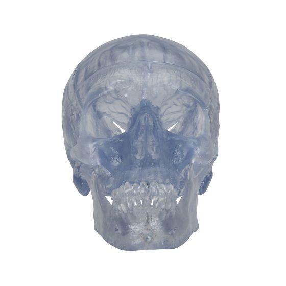 Transparent Classic Human Skull A20/T