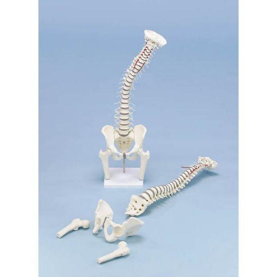 Vertebral column model with removable pelvis, femoral stumps on stand Erler Zimmer