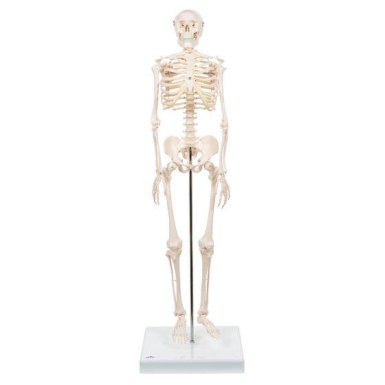 Mini Skeleton - Shorty - on a base A18