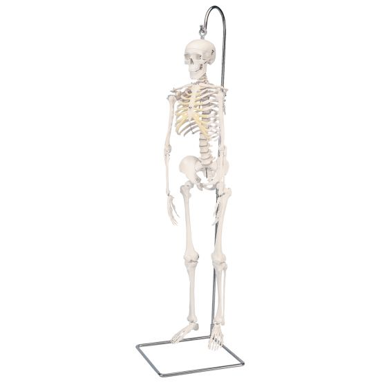 Mini Human Skeleton - Shorty - on hanging stand A18/1