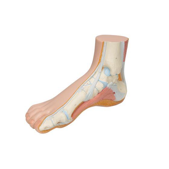 Human Foot M30