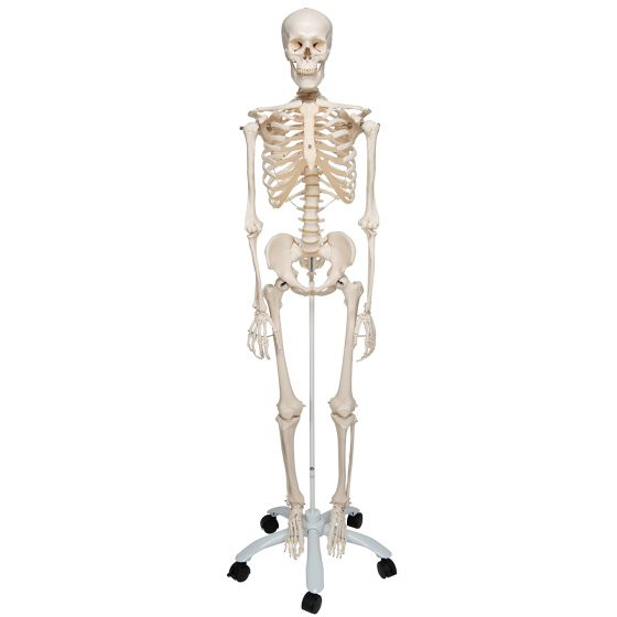 Human Skeleton Model Stan, mounted on a 5-star-base stand A10