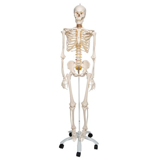 Flexible Human Skeleton Fred, with wire mounted feet and hand A15