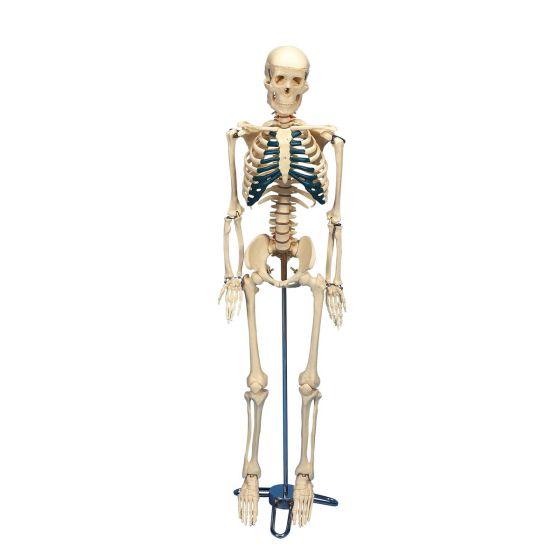 Desktop Skeleton W33000