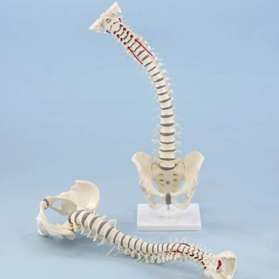 Vertebral column with pelvis Erler Zimmer