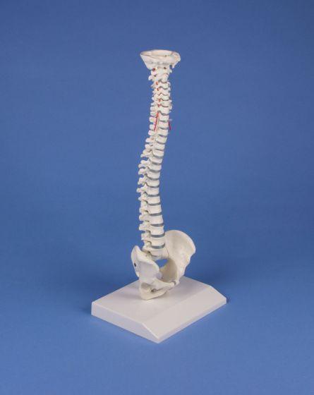 Miniature spinal column Erler Zimmer