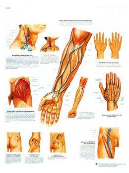 Anatomische Bord : Blutgefäße und Nervenbahnen klinisch wichtige VR2359L