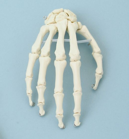 Skeleton of hand model without stand Erler Zimmer